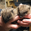 Help needed for rising number of rescue and injured hedgehogs